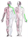 特定の臓腑と内属し表裏関係をも有する十二経脈の一つ手の『陽明大腸経』の流れが記された二体の人体立像図