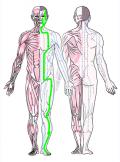 特定の臓腑と内属し表裏関係をも有する十二経脈の一つ足の『陽明胃経』の流れが記された二体の人体立像図