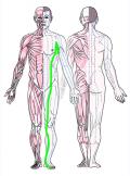 特定の臓腑と内属し表裏関係をも有する十二経脈の一つ足の『太陰脾経』の流れが記された二体の人体立像図