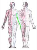 特定の臓腑と内属し表裏関係をも有する十二経脈の一つ手の『少陰心経』の流れが記された二体の人体立像図