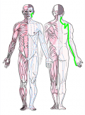 特定の臓腑と内属し表裏関係をも有する十二経脈の一つ手の『太陽小腸経』の流れが記された二体の人体立像図