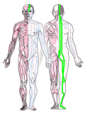 特定の臓腑と内属し表裏関係をも有する十二経脈の一つ足の『太陽膀胱経』の流れが記された二体の人体立像図