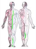 特定の臓腑と内属し表裏関係をも有する十二経脈の一つ足の『少陰腎経』の流れが記された二体の人体立像図