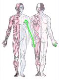 特定の臓腑と内属し表裏関係をも有する十二経脈の一つ手の『厥陰心包経』の流れが記された二体の人体立像図