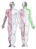 特定の臓腑と内属し表裏関係をも有する十二経脈の一つ手の『少陽三焦経』の流れが記された二体の人体立像図