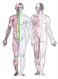 特定の臓腑とは内属せず表裏関係も無い奇経八脈の一つ『任脈』の流れが記された二体の片側解剖人体立像の図