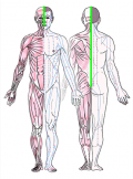 特定の臓腑とは内属せず表裏関係も無い奇経八脈の一つ『督脈』の流れが記された二体の片側解剖人体立像の図