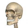 髑髏(ドクロ)・されこうべ・頭蓋骨・スカルなどの名称を持つ死神や黄金バットのモチーフともなる頭の骨