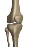 大腿直筋・内側広筋・中間広筋・外側広筋からなる大腿四頭筋の腱に付着する膝蓋骨が見える膝関節の風景