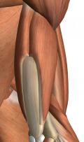 アニメ『進撃の巨人』の凄まじい躍動感を想起させる二の腕の筋、上腕三頭筋と上腕筋の重なりあう情景