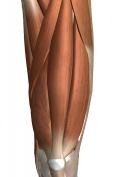 スサノオノミコトが退治したと伝えられる八岐大蛇こと「やまたのおろち」ならぬ、4つの頭を持つ大腿四頭筋